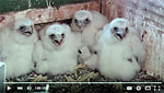 peregrine falcon history in Wisconsin video